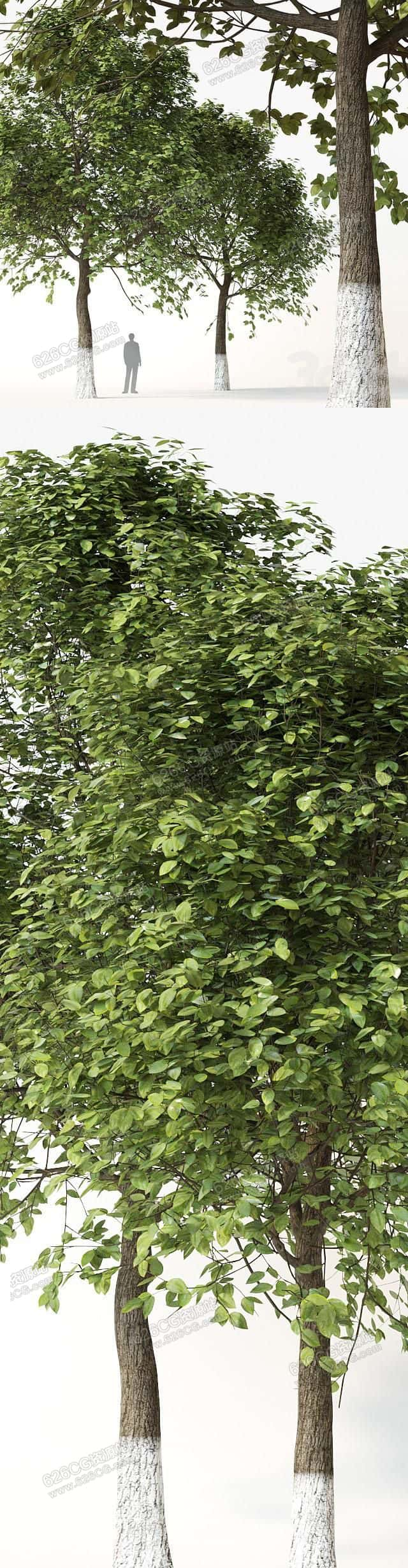 三维模型:超写实园林景观树大树乔木树樟树植物香樟树 626CG资源站