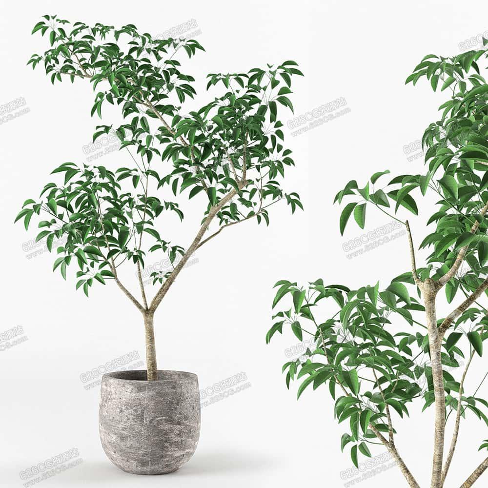 三维模型:高档盆栽小树绿植盆栽植物盆栽花盆植物 626CG资源站